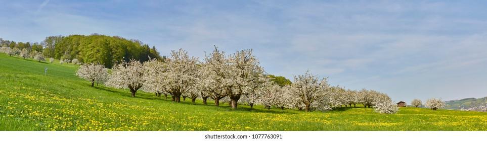 cherry tree blossom in switzerland. april spring season