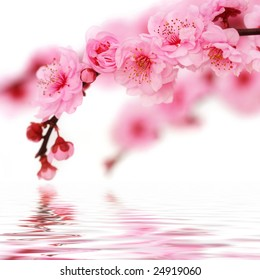 Cherry tree blossoms reflected in rendered water isolated on white background.