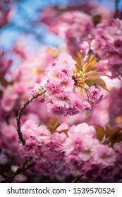A cherry tree branch at cherryblossom in Bonn