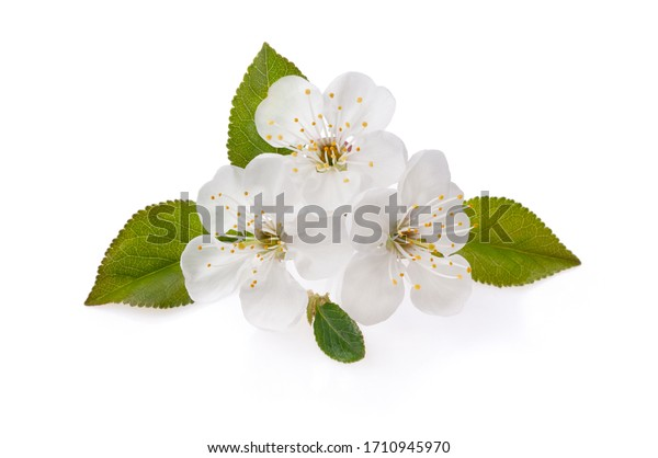 Cherry tree branch and sprig with the blooming flowers. Flowering ordinary cherry in spring isolate