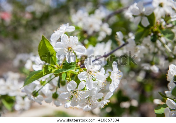 a cherry tree with flowers
