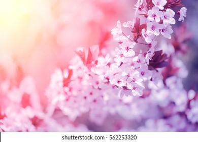 Flores da árvore de cerejeira floresce no pôr do sol