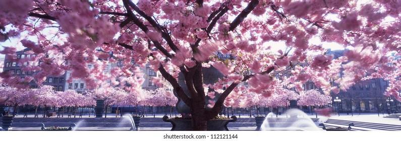 Cherry tree and fountain, scenic panorama