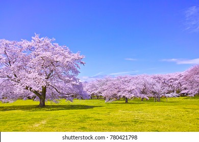 Cherry tree in full bloom