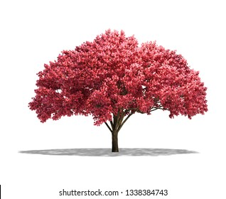 Cherry tree isolated on white background