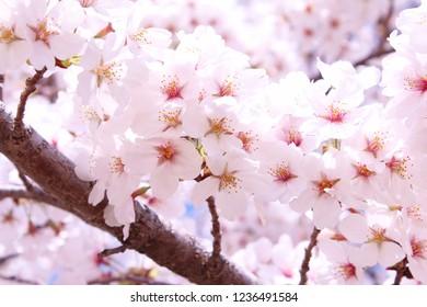 """""""Somei Yoshino"""" cherry tree in Japan"""
