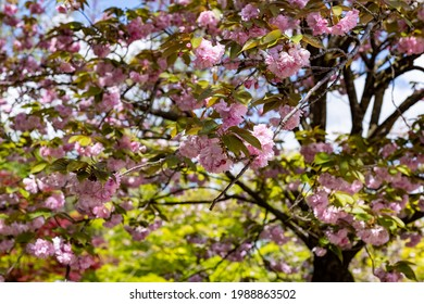 A Cherry tree in the Japanese garden inside the Botanical Garden of Rome, Italy