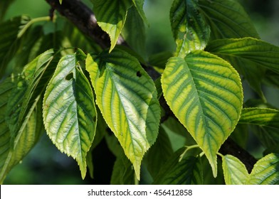 Cherry tree leaves with interveinal chlorosis