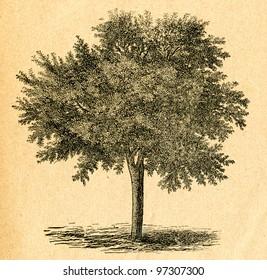 Cherry tree - old illustration by unknown artist from Botanika Szkolna na Klasy Nizsze, author Jozef Rostafinski, published by W.L. Anczyc, Krakow and Warsaw, 1911 - Shutterstock ID 97307300