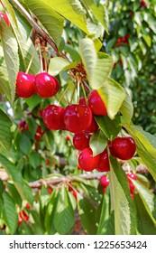 Cherry tree orchard with fresh ripe cherries fruits near cipy Turi, capital of cherry in Apulia, Italy