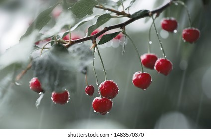 Cherry tree in the rain, with ripe red cherry on the branches, and drops of water on the cherry berries.