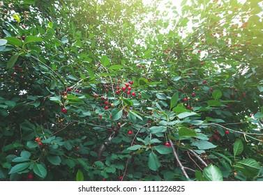 Cherry tree with ripe berries