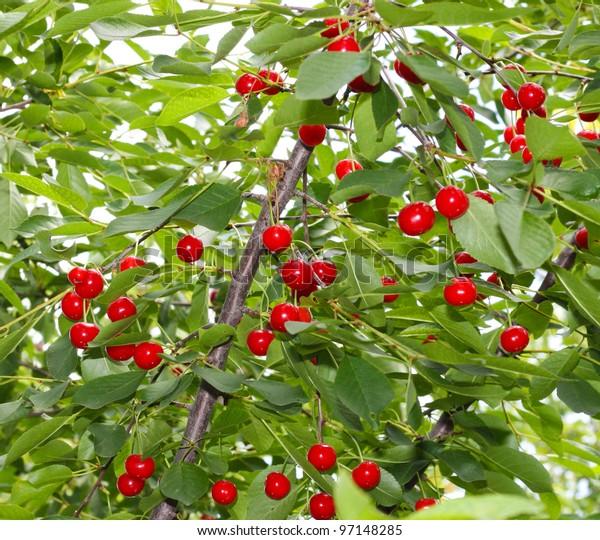 Cherry tree with ripe cherries in the garden.