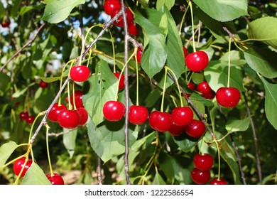 Cherry tree with ripe sour cherries background