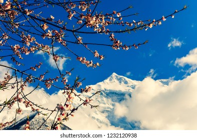 Cherry tree spring flowers with mountain peak in background, Himalayas, Nepal, Asia