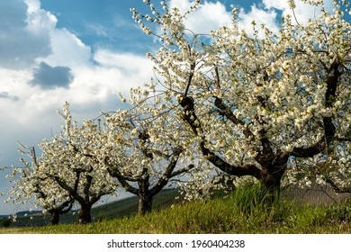 Cherry trees in Bloom in Front of a Blue sky