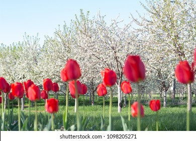 Cherry trees in bloom and tulips adding spectacular color
