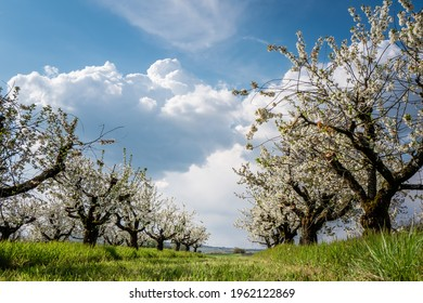 Cherry trees are blooming in front of a cloudy blue sky