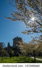 Cherry trees blossom in the Blarney Castle park. Blarney. Ireland. April 2019