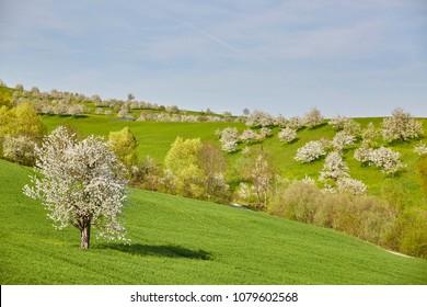 Cherry Trees blossom in Switzerland