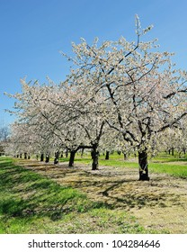 Cherry Trees in Blossom, Traverse City, Michigan USA