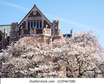 Cherry trees blossoming at university campus - Seattle, WA, USA