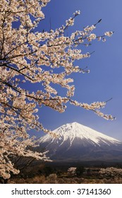 The cherry trees are in full blossom