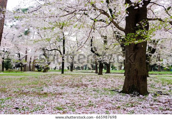Cherry trees at Omiya Park,Saitama,Japan in spring.With sakurafubuki and cherry blossom petals on the ground.