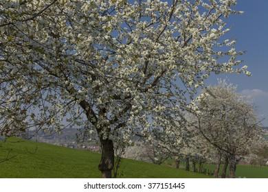 Cherry trees in spring, Hagen, Lower Saxony, Germany