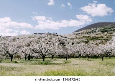 Cherry trees in springtime