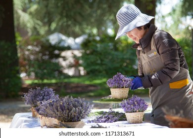Cherry Valley, California, USA. 06/17/2018 Oriental lady working with lavender flowers outside during de 14th  annual Lavender Festival in Highland Springs Ranch & Inn