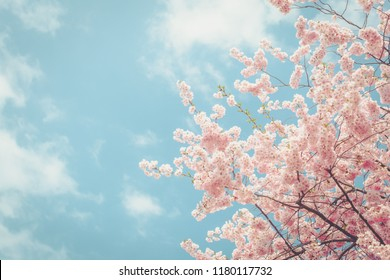 Cherry white blossom against blue sky with copy space