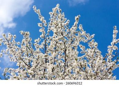 Cherry white blossom against a blue sky
