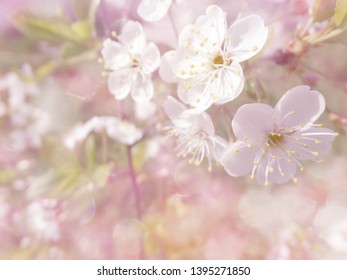 cherry white flowers abstract pink background blurred bokeh spring blossom