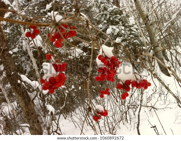 Cherry in winter, Quebec, canada