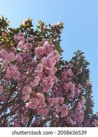 cherryblossom, P. sesrulata for. Fugenzo
