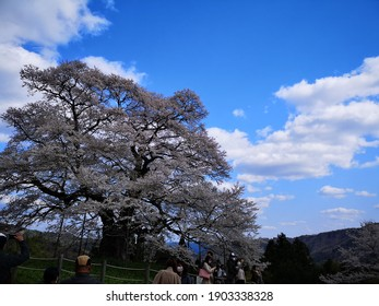it is cherryblossom.it was planted more than  1000 years ago.