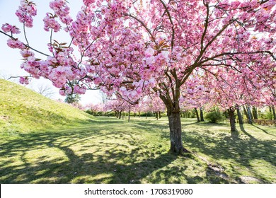 Cherryblossom trees on a sunny day in Berlin