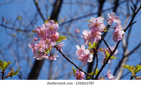 chery blossom in the blue sky
