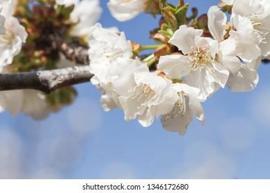 Chery blossom flowers close up