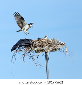 Chesapeake Bay, Maryland - Osprey landing at a nest.  The birds used a large garbage bag as part of the nest.