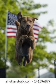 A Chesapeake Bay Retriever dog jumps into a pool of water (not seen); framed by the American flag