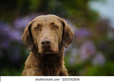 Chesapeake Bay Retriever dog outdoor portrait by purple flowers