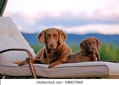 Chesapeake Bay Retriever female and puppy on deck chair, watching