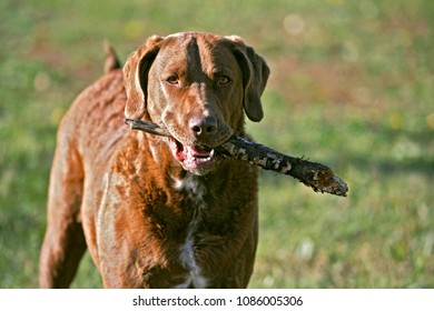 Chesapeake Bay Retriever standing in meadow,playing with stick