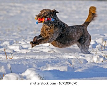 Chesapeake Bay Retriever with toy running in fresh snow in a meadow in winter.
