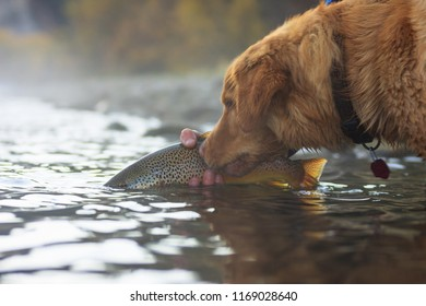 A Chesapeake Bay Retriever Watches A Brown Trout Being Released Back To The River