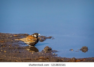 Chesnut backed sparrow-lark in Kruger National park, South Africa ; Specie Eremopterix leucotis family of Alaudidae