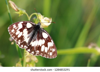 chess butterfly on a meadow