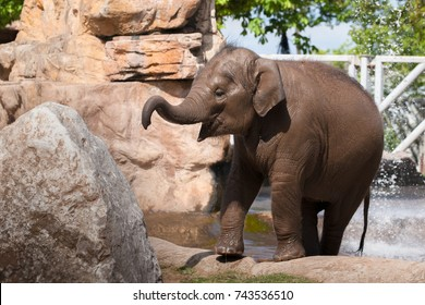 CHESTER, ENGLAND, UNITED KINGDOM - MAY 01 2017: Baby Asian Elephant (Elephas maximus) Indali cools off in the water, portraying fun and playfulness.
